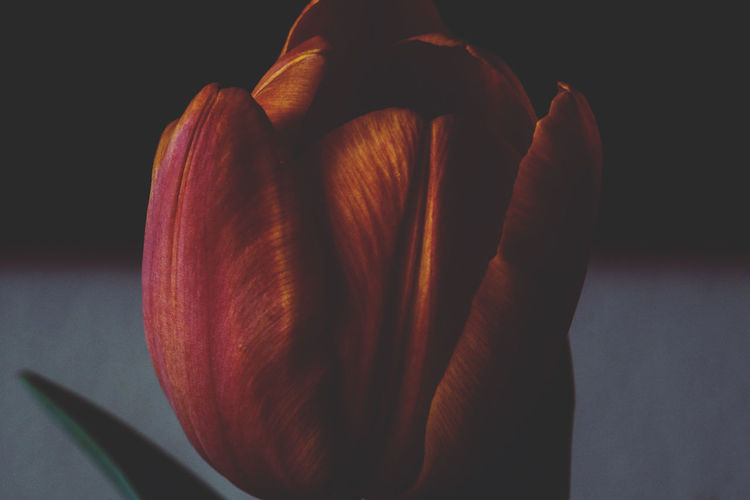 Fujifilm X-M1 mit Vivitar MC Tele Converter 2x und Auto_Revuenon 50mm 1.9... Jacqueline Schreiber Teleconverter Auto_revuenon 50mm Fujifilm Fujifilm X-m1 Indoors  Indoor Photography Tulip No People Beauty In Nature Focus On Foreground Fujifilm_xseries Black Background Studio Shot Close-up Still Life Flower Head In Bloom Single Flower