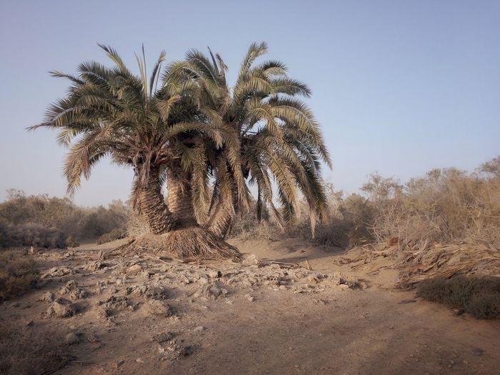 Palm Trees On Desert Against Sky