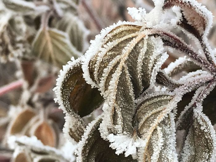 Ice Flower 🌹 Korea 오리나무뜰 Changwon Ice Flowers Cold Temperature Close-up Frozen Snow Plant Focus On Foreground No People Winter Nature Frost Beauty In Nature White Color Ice