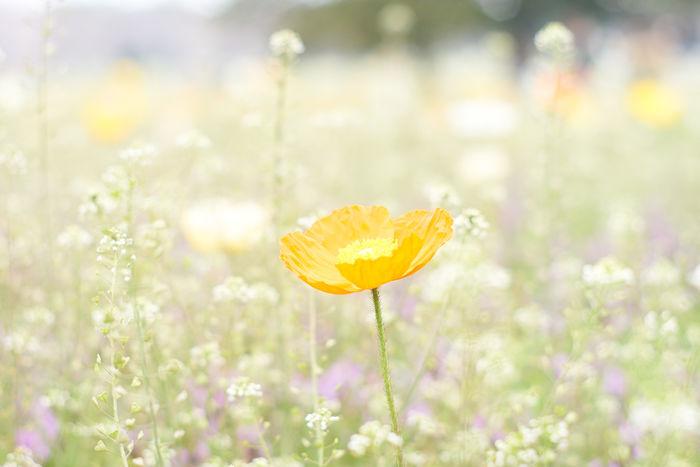 Beauty In Nature Close-up Field Flower Growth High Exposure In Bloom Nature Orange Color Plant Popy Single Flower