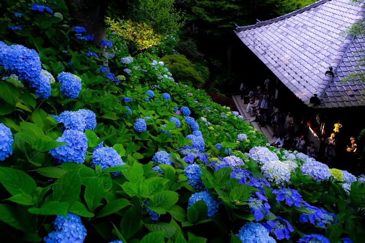 Flowers Flower Japan Photography Beauty In Nature Japan Flower Collection Agisai Quintaflower
