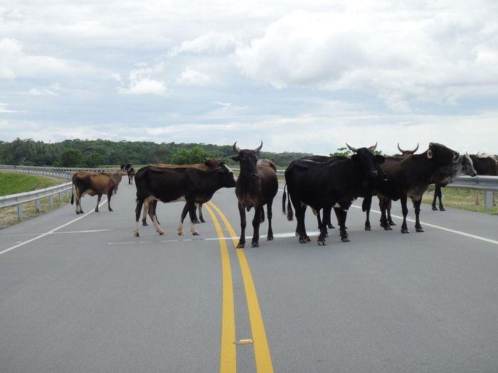 Herd of cows standing on road
