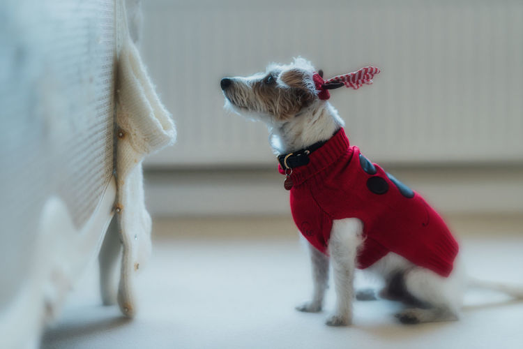Close-up of dog wearing sweater sitting on floor at home