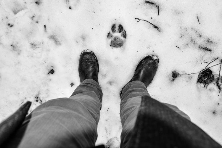 Mountain lion paw print in snow