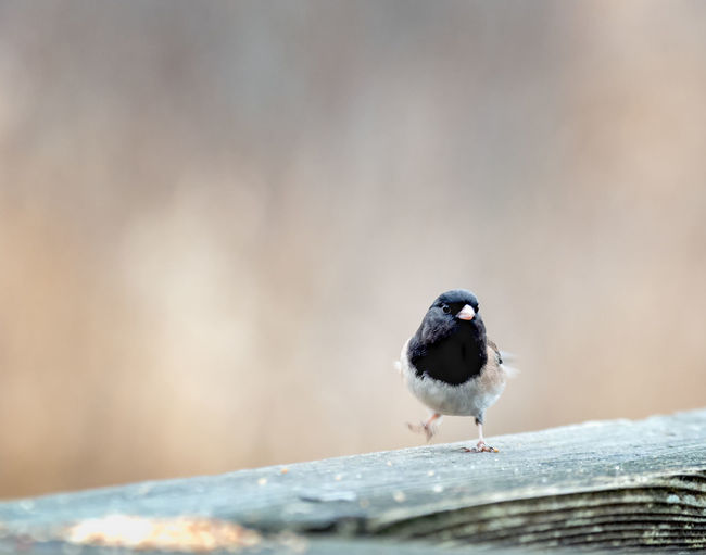 Strutting Along Animal Themes Animal One Animal Animal Wildlife Bird Animals In The Wild Vertebrate Perching No People Day Wood - Material Selective Focus Focus On Foreground Nature Close-up Winter Outdoors Cold Temperature Copy Space Sparrow Small