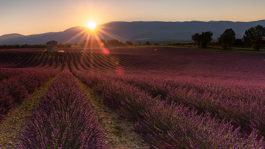 Lavender sun flare Agriculture Beauty In Nature Farm Field Flower Growth Land Landscape Lavender Lens Flare Nature No People Outdoors Plant Purple Rural Scene Scenics - Nature Sky Sun Sunlight Sunrise Over Mountain Tranquil Scene Tranquility