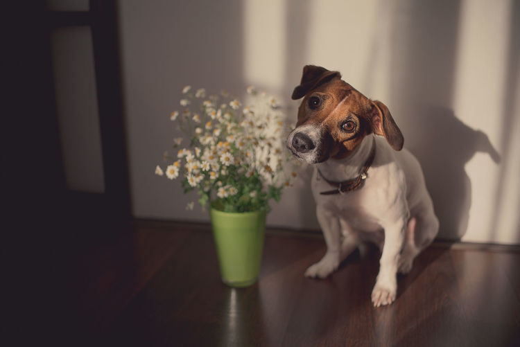 Cute dog Jack Russell breed with sad eyes white-red color sitting on the floor in the room next to a bouquet of daisies in a green vase. Warm atmosphere of a sunny evening in a cozy room. Selective focus. Warm toning. Dogs Animal Animal Themes Canine Dog Domestic Domestic Animals Flooring Flower Flowering Plant Home Interior Indoors  Jack Russell Terrier Looking Mammal No People One Animal Pets Plant Portrait Small
