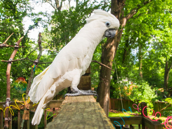Clara the cockatoo Cockatoo Feathers Animal Themes Beak Bird Cockatoo Day Domestic Animals Exotic Pets Leafy One Animal Outdoors Parrot Perching Pets Portrait Tree White Color