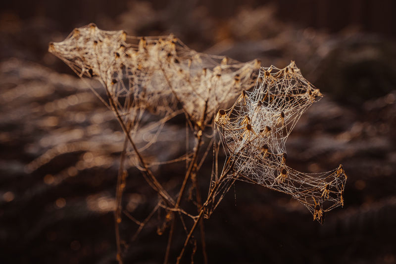 Close-up of dried spider web on dry plant