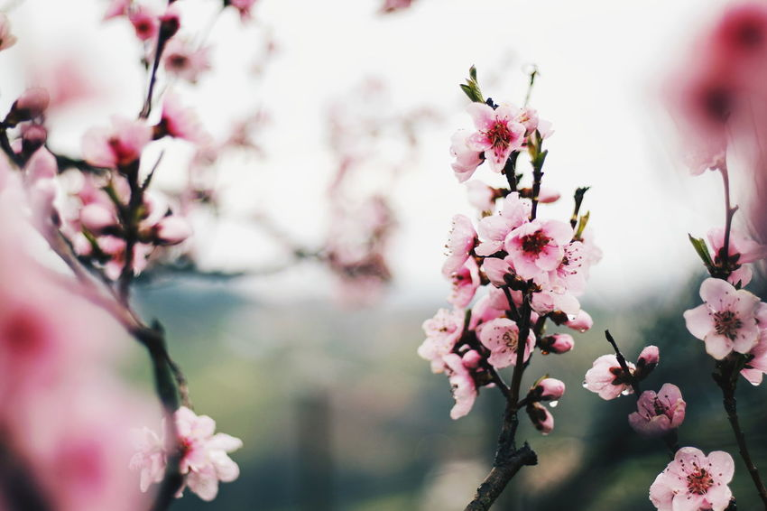 """Spring"" EyeEm Selects Pink Color Freshness Plant Flower Flowering Plant Blossom Tree Beauty In Nature Fragility Springtime Nature Growth Vulnerability  Branch Close-up Focus On Foreground Flower Head Selective Focus Cherry Blossom No People"