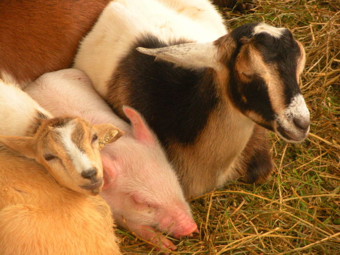 A baby piglet sleeps next to goats gathered together in a petting zoo for the Barnyard Express show at the Jefferson County Fair at Friendship Park Lake fairgrounds in Smithfield, Ohio (August 2018). Goat Goats Jefferson County Fair Smithfield, OH Smithfield, OH 43948 Susan A. Case Sabir Unretouched Photography Adorable Baby Pig Baby Piglet Barnyard Barnyard Animals Differences  Differences Unite Happy Together   Petting Animals Petting Zoo Resting Time Togetherness Togetherness Friendship Togetherness Is Happiness Togethernessishappiness Trust Each Other Unity In Diversity