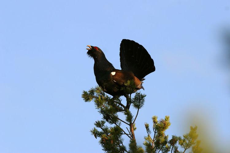 Animal Themes Animal Wildlife Animals In The Wild Bird Cappercaille Clear Sky Tetrao Urugallus Tree