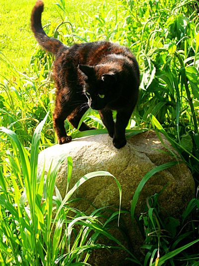 My cat Ichigo hunting ❤️ Kitty Domestic Animals Cat Hunting  Farm Cat Cat One Animal Animal Wildlife Mammal Grass Nature No People Animals In The Wild Outdoors Animal Themes Full Length Day