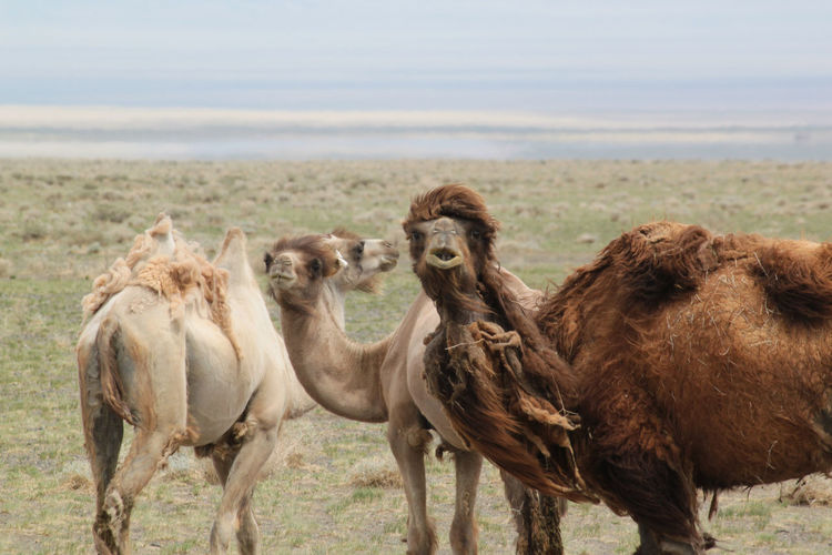 Camels Standing On Field