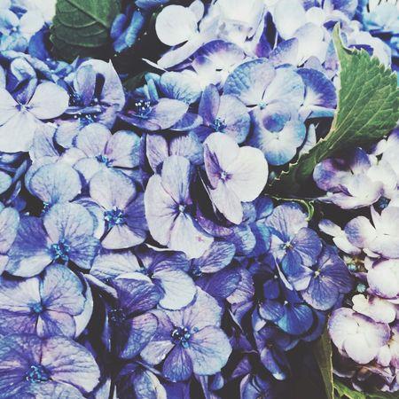 紫陽花2015Photo 紫陽花-hydrangea- 寒色 紫陽花
