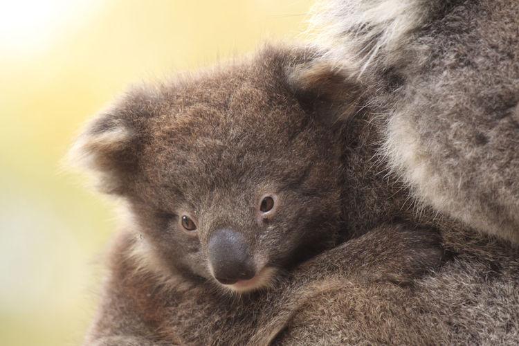 Close-up of koala baby