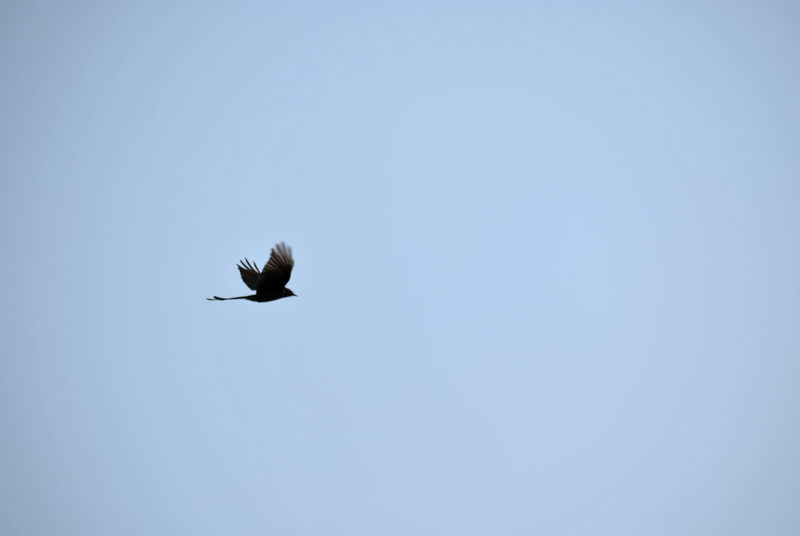 Animal Themes Animal Wildlife Animals In The Wild Bird Black Bird Blue Blue Sky Clear Sky Day Feather  Flight Flying Lone Bird Low Angle View Minimal Nature Nature Nature Photography No People One Animal Outdoors Sky Spread Wings Tail Wings