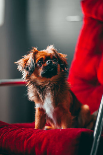 Dog looking away while sitting at home