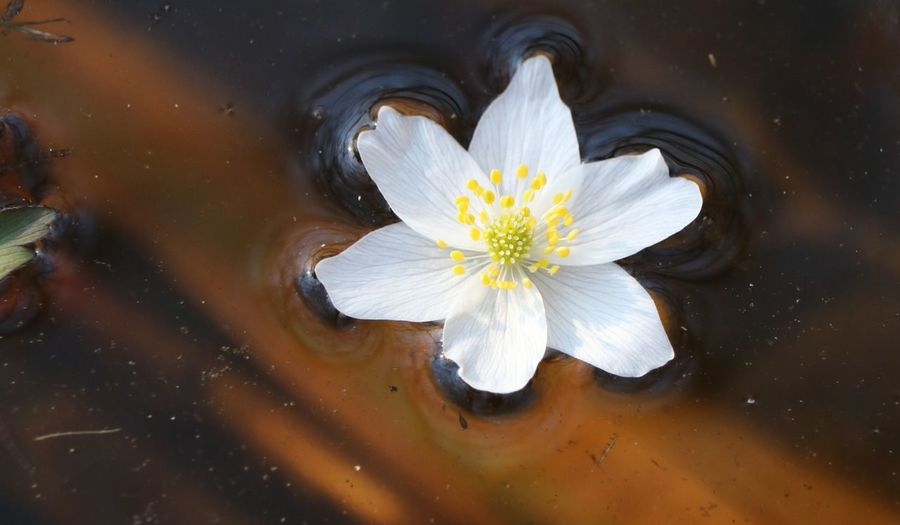 Close-up of white flower in water
