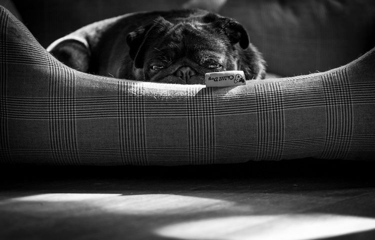 Chilling One Animal Domestic Animals Pets Dog Animal Themes Mammal Indoors  No People Close-up Day Dogs Pug Black Pug Black And White Black & White Blackandwhite Dogs Of EyeEm Dogslife Pet Photography  Pets Corner Creative Light And Shadow Pet Portraits Black And White Friday