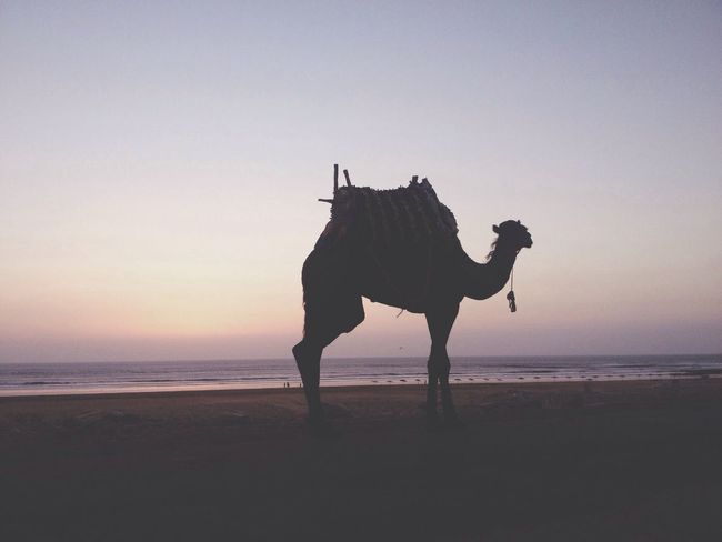 Sidi Kaouki Morocco Camel
