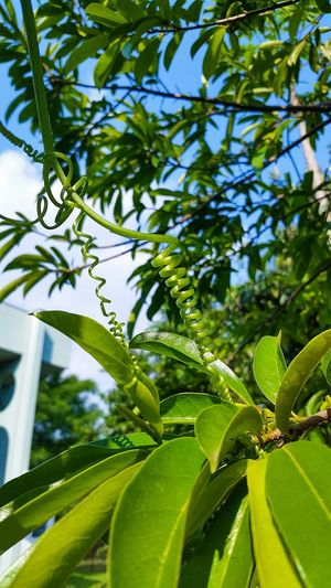 Leaf Green Color Nature Tree Growth Low Angle View Branch No People Plant Backgrounds Day Close-up Beauty In Nature Outdoors Sky Flowers, Nature And Beauty Flowermagic SmallFlowers Small Flower Grass Low Angle View Beauty In Nature Spiral Spiralling Flowers_collection
