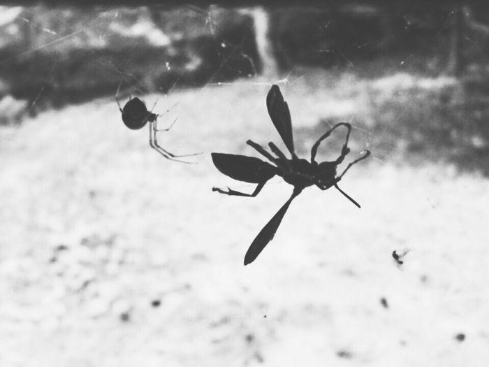 Nature Spider Charlotte