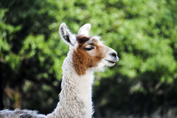 Close-up side view of llama