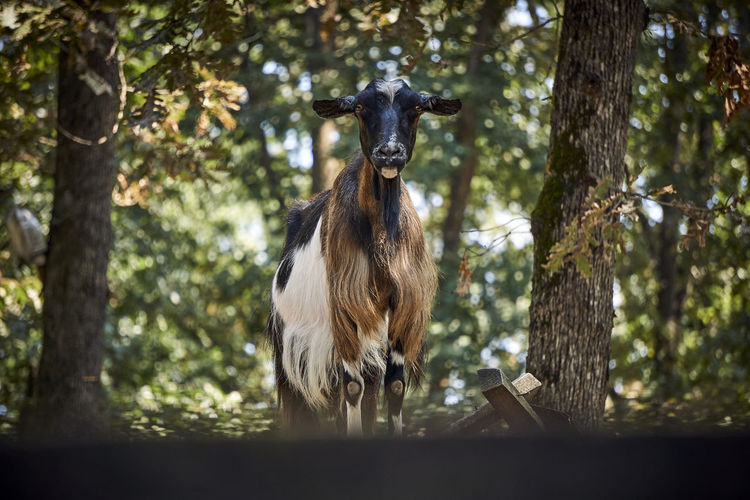 Goat Animal Animal Themes Animal Wildlife Animals In The Wild Day Domestic Animals Focus On Foreground Herbivorous Land Livestock Looking At Camera Mammal Nature No People One Animal Outdoors Plant Portrait Standing Tree Vertebrate