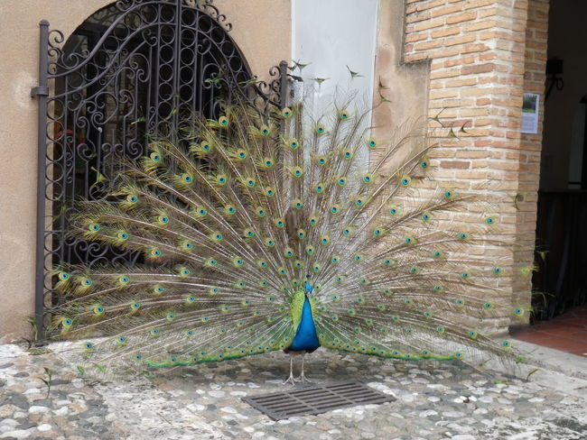 Animal Animal Photography Beuteful Bird Colorful Dominican Republic Eyes Feathers Gorgeous Green Color Old Town Peacock Plumage Tail Feathers