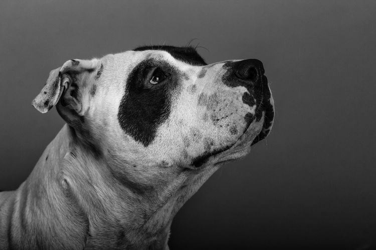 American Staffordshire Terrier Animal Head  Animal Themes B/w Black & White Black And White Black And White Photography Black&white Blackandwhite Blackandwhite Photography Blackandwhitephotography Close-up Dog Dog Love DogLove Dogs Dogslife Dog❤ Domestic Animals Mammal One Animal Pets Portrait Relaxation Zoology