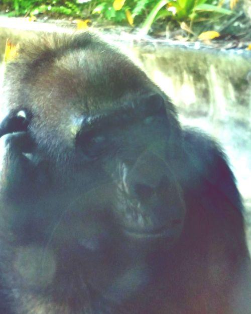 Zoo Miami B & W Portrait Gorilla
