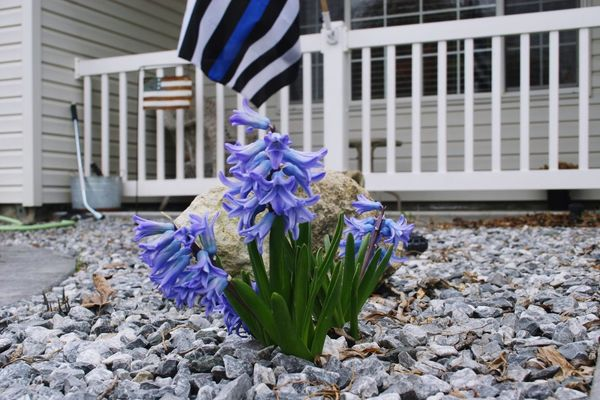 Beauty In Nature Flower Built Structure Building Exterior Blue Day Outdoors No People Plant Growth Fragility Flower Head Nature Close-up Beauty In Nature Nature thin blue line flag