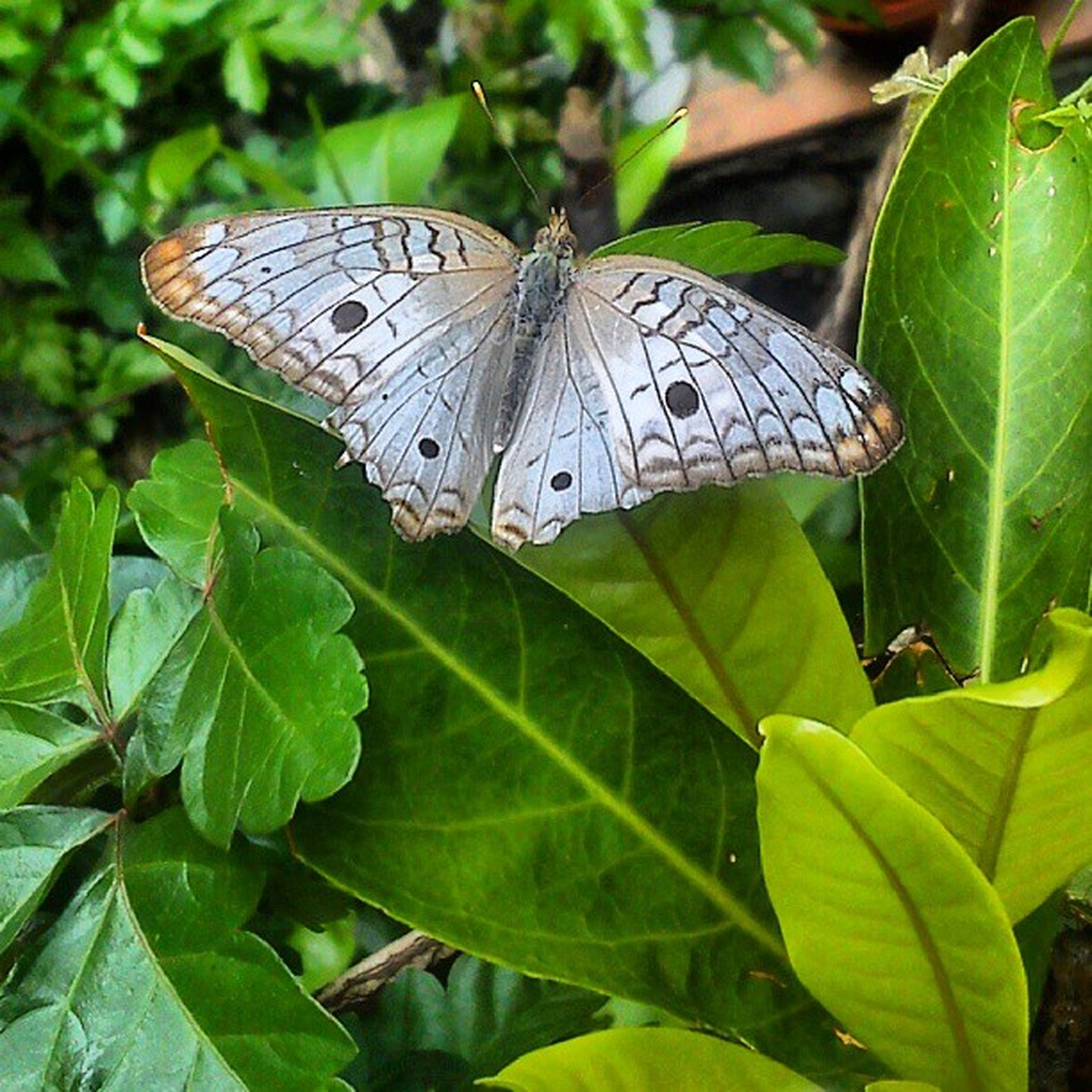 animals in the wild, insect, one animal, butterfly - insect, wildlife, animal themes, butterfly, leaf, animal wing, close-up, focus on foreground, green color, natural pattern, animal markings, plant, nature, animal antenna, beauty in nature, day, moth