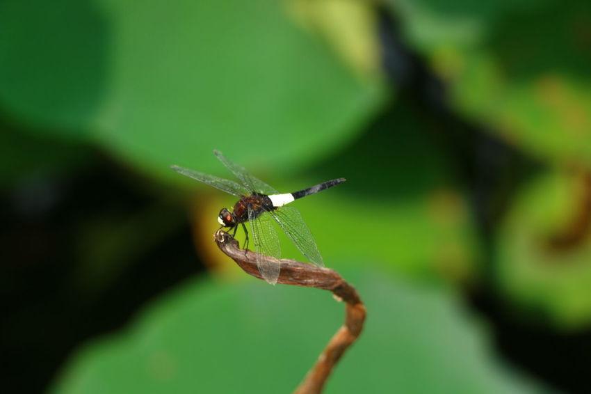 小荷才露尖尖角,早有蜻蜓立上头