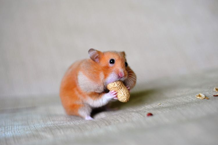 Animal Animal Photography Animal Portrait Animal Themes Cute Cute Pets Eating Hamster Hamster Love Hamster ♡ Happy Hamster Nut Omnomnom Orange Orange Color Stuffing Stuffing His Face Showcase March Animals Animal_collection Animal Love Animallovers Animalphotography My Favorite Photo