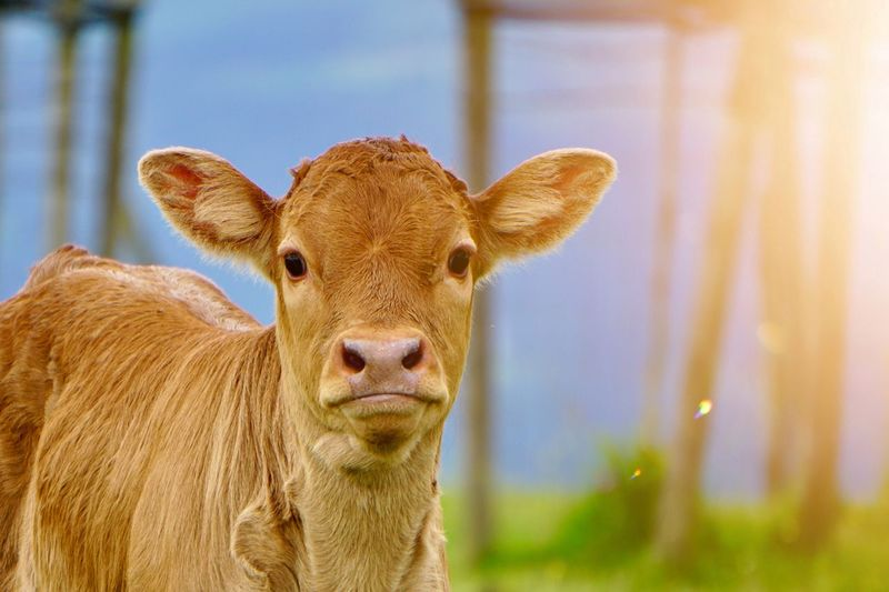 brown cow portrait in the nature in the meadow Cow Brown Animal Themes Animals In The Wild Animal Eyes Horns Ears Meadow Field Countryside Country Nature Outdoors Summer Springtime Cute Mammal Vertebrate Domestic Animals No People
