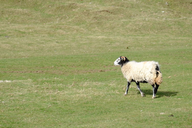 A sheep in Alwinton, Northumberland Alwin Grass Green Landscape Northumberland Sheep