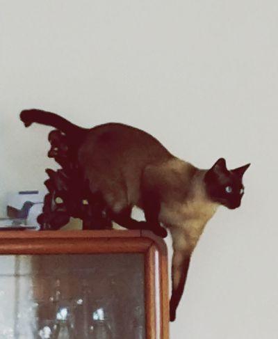 Dalí. Domestic Cat Statue