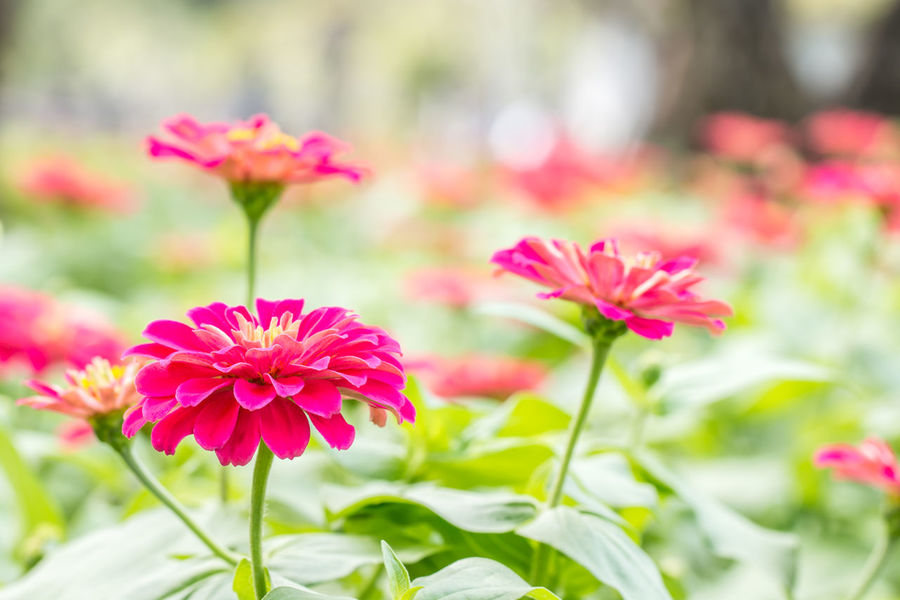 Pink zinnia flower, in soft blurred style, with other blossom blur background. Backdrop Scenery Backgrounds Beauty In Nature Bokeh Background Botany Close-up Day Flower Flowering Plant Focus On Foreground Fragility Freshness Growth Inflorescence Nature No People Outdoors Petal Pink Color Pink Zinnia Plant Plant Stem Vulnerability  Zinnia Flower