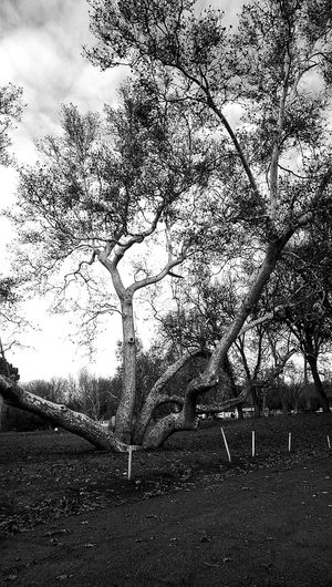 The sycamores out here get pretty wild 😊 Hugging A Tree Treepics Tree_collection  TreePorn Sycamore Every Direction Black And White EyeEm Nature Lover Eye4photography  EyeEm Gallery Beautiful Norcal Norcal Explore Your World Nature_collection On An Adventure Down By The Creek