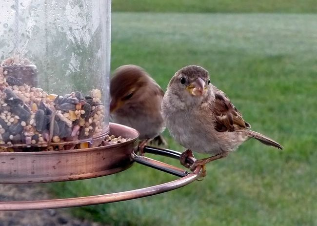 Early Morning Visitors Beauty In Nature Bird Bird Feeder Birdfeeder Birds Black Color Close-up Day Focus On Foreground Nature No People Outdoors Perching Selective Focus Sparrow Sparrows
