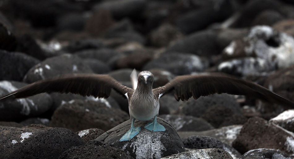Perfect Landing Galapagos Travel Photography Animal Wildlife Animals In The Wild Bird Blue Footed Boobie Close-up Flying Nature North Seymour Spread Wings