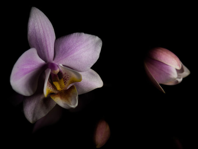 Flower Flowering Plant Fragility Freshness Petal Beauty In Nature Vulnerability  Plant Inflorescence Flower Head Studio Shot Black Background Close-up Nature Growth No People Pollen Pink Color Orchid Indoors  Purple