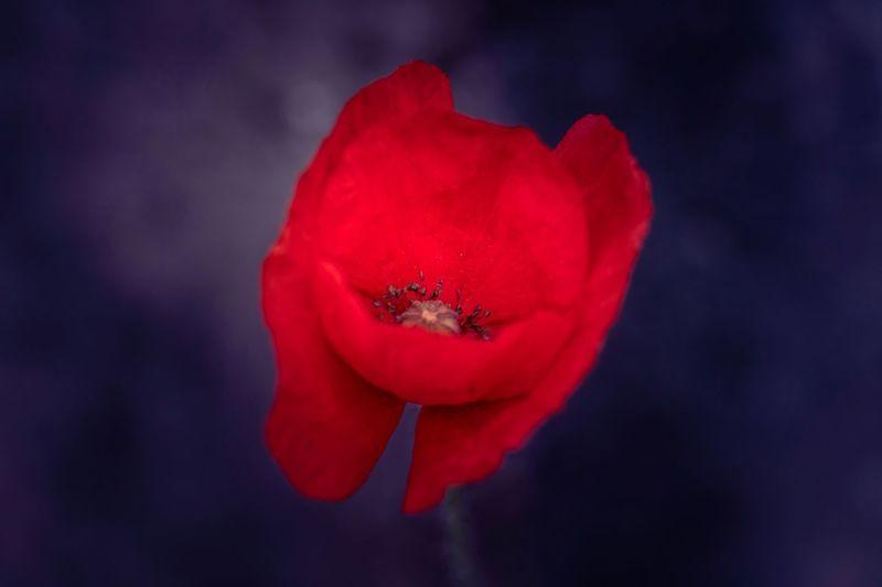 Poppy Makro