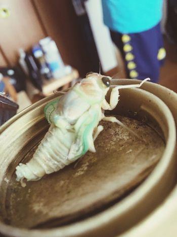進化したての蝉 Cicada 蝉 夏 Summer 比喩 自然 Natural 珍しい Rare Japan 虫 Japan Photos First Eyeem Photo