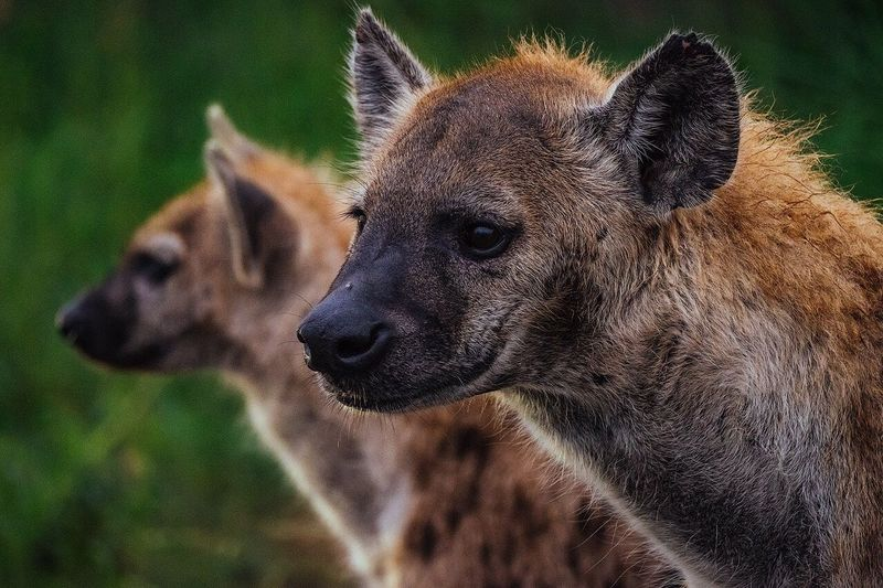 Close-up of hyenas in forest