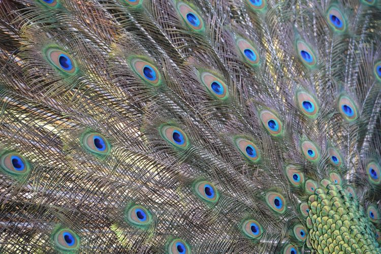 EXTREME CLOSE UP OF PEACOCK FEATHERS