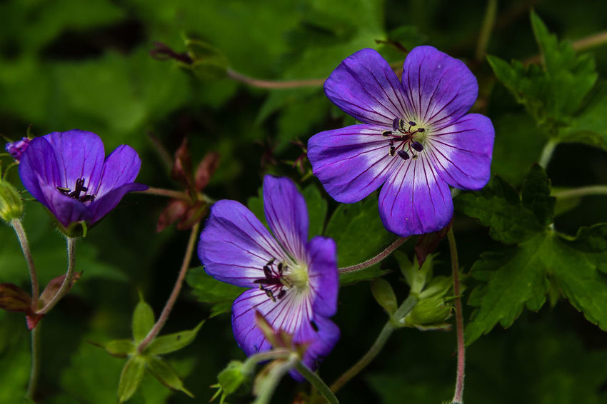 Geranium wallichianum is a species of hardy flowering herbaceous perennial plant in the genus Geranium, Geraniaceae family. It is native to the Himalayas. It grows to 60 cm with hairy toothed leaves and blue flowers in summer. https://en.wikipedia.org/wiki/Geranium_wallichianum Beauty In Nature Blooming Close-up Flower Flower Head Geranium Petal Purple