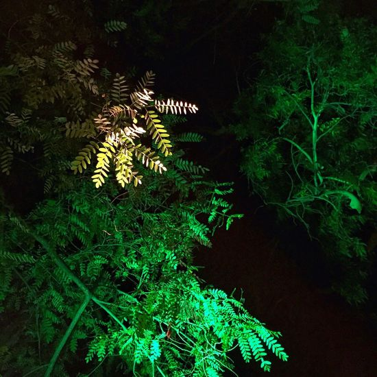 Fine Art Photography Trees in the night with mixed lights. Night Tree Green Plant Nature Leaf Beauty In Nature Outdoors Illuminated Tranquility Tranquil Scene Dark Close-up Idyllic Focus On Foreground Artificial Light Sky